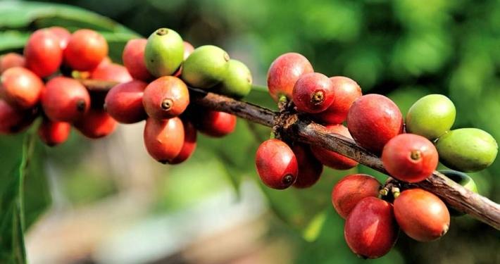 Vzgoja in zorenje kave