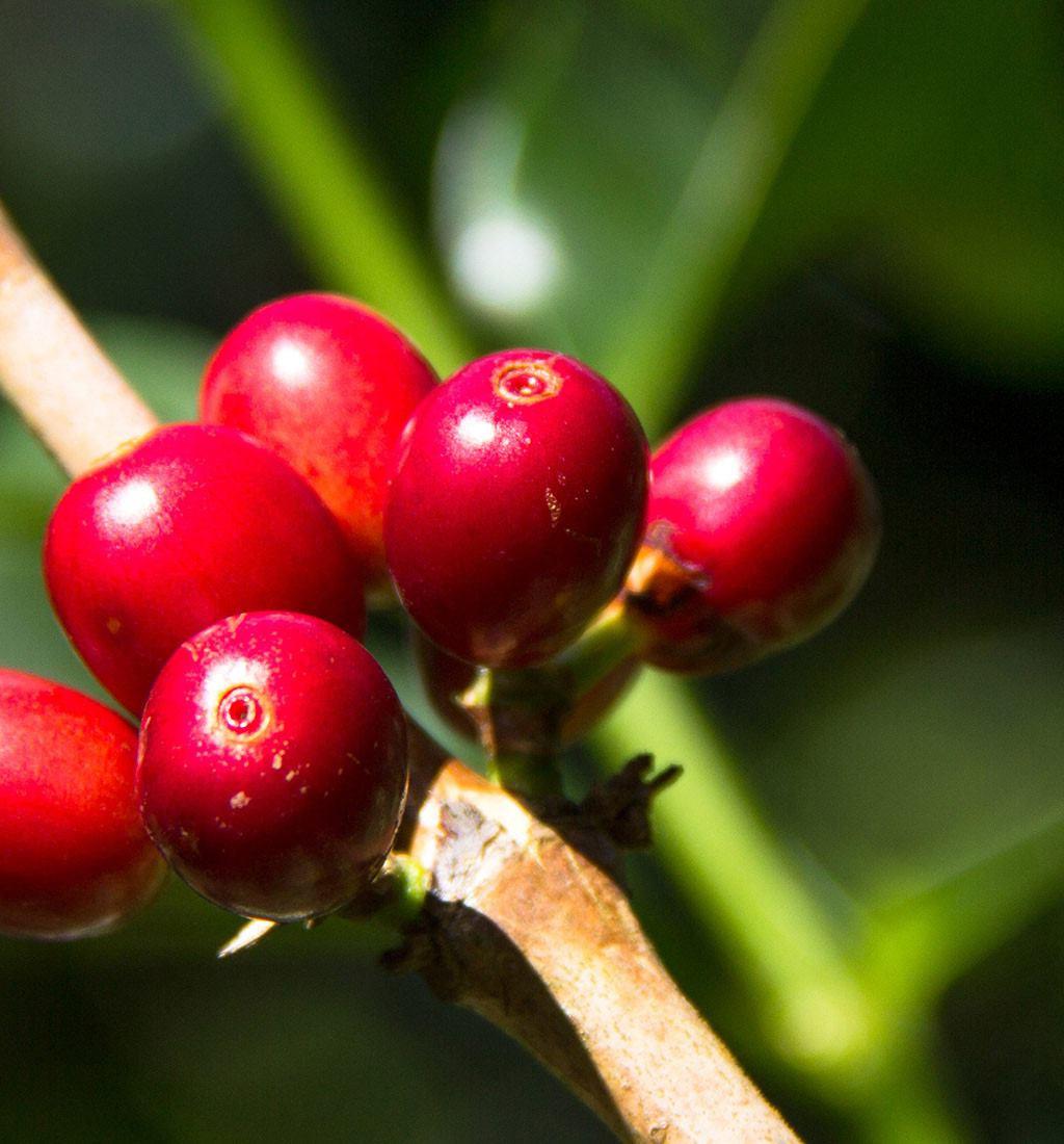 Gesha ali Geisha-zgodba o vzponu kave