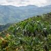 coffee farms in Colombia, cascabel region