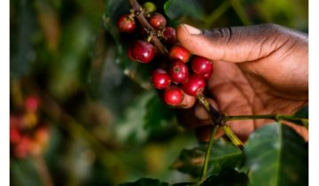 COFFEEA ARABICA AND ITS VARIETALS