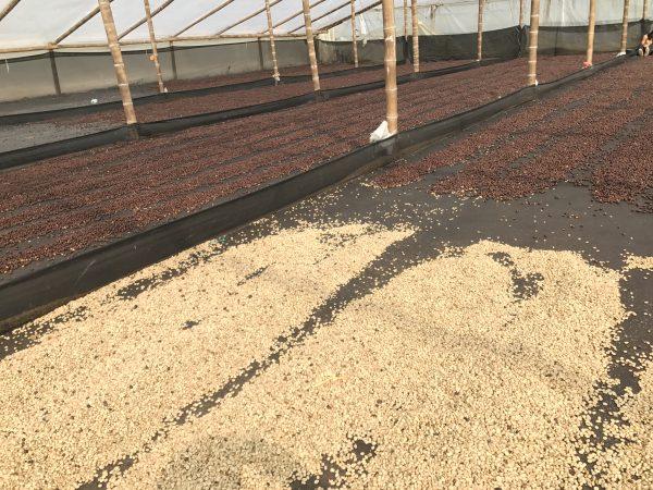 fermentirana kava